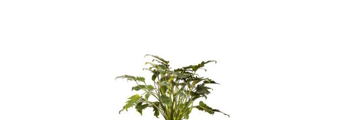 Philodendron Xanadu